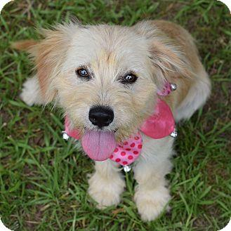 Terrier (Unknown Type, Medium) Mix Puppy for adoption in Denver, Colorado - Bonnie