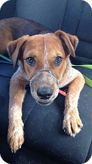 Australian Shepherd Mix Dog for adoption in Houston, Texas - Lucas