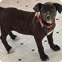 Adopt A Pet :: Vigil - Pleasant Plain, OH