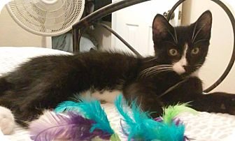 Domestic Shorthair Kitten for adoption in Colmar, Pennsylvania - Bailey