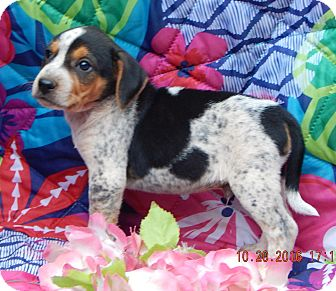 Australian Shepherd/Beagle Mix Puppy for adoption in West Sand Lake, New York - Zeke (5 lb) Video!
