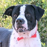 Pointer Mix Dog for adoption in Loxahatchee, Florida - Sir Drake