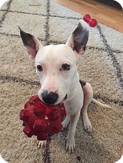 Bull Terrier Mix Puppy for adoption in Tallahassee, Florida - Amelia