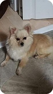 Chihuahua Mix Dog for adoption in Breinigsville, Pennsylvania - Vinny **In a foster home**