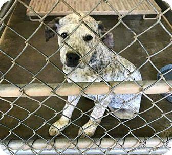 Australian Cattle Dog Mix Puppy for adoption in Colorado Springs, Colorado - Tucker