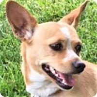 Adopt A Pet :: Sweetie Chi - Lexington, KY