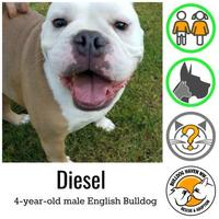 Adopt A Pet :: Diesel - Everett, WA