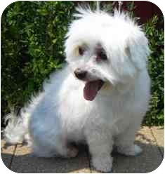 Maltese Dog for adoption in Osseo, Minnesota - Baxter