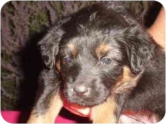 Australian Shepherd Mix Puppy for adoption in Broomfield, Colorado - FROOT LOOPS