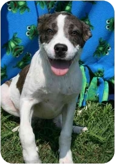 Catahoula Leopard Dog Mix Dog for adoption in Osceola, Arkansas - Alfalfa