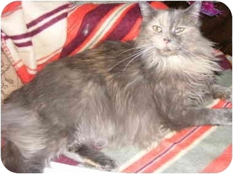 Calico Cat for adoption in Chattanooga, Tennessee - Cassie