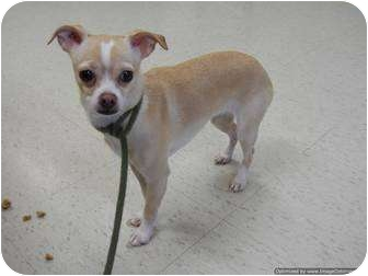 Miniature Pinscher/Chihuahua Mix Dog for adoption in Morden, Manitoba - Millie