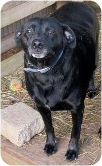 Labrador Retriever Mix Dog for adoption in Salem, Oregon - Bandit