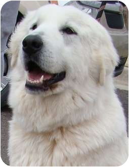 Great Pyrenees Dog for adoption in Oklahoma City, Oklahoma - Bonnie -Adopted
