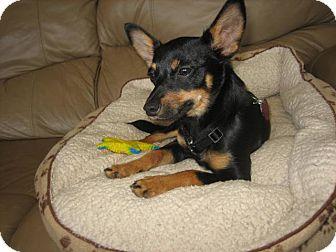 Miniature Pinscher Mix Puppy for adoption in North Wilkesboro, North Carolina - Jack (JJ)