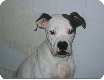 Boxer Mix Puppy for adoption in Tallahassee, Florida - Chance