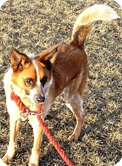 Australian Cattle Dog/Border Collie Mix Dog for adoption in Delano, Minnesota - Coming soon: Diesel