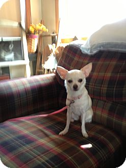 Chihuahua Dog for adoption in Crown Point, Indiana - chloe