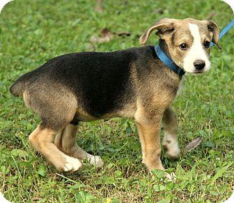 Cocker Spaniel Mix Puppy for adoption in Hagerstown, Maryland - Walker