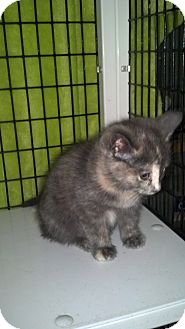 Calico Kitten for adoption in Monterey, Virginia - Elfie