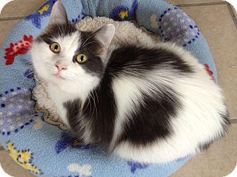 Domestic Longhair Kitten for adoption in Byron Center, Michigan - Kizzy