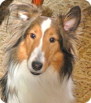 Sheltie, Shetland Sheepdog Dog for adoption in Circle Pines, Minnesota - Prinz Charming!