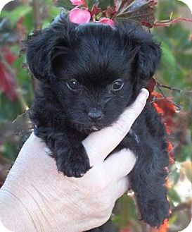 Yorkie, Yorkshire Terrier/Poodle (Miniature) Mix Puppy for adoption in Torrance, California - MILLEY