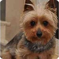 Adopt A Pet :: Toto - Jenks, OK