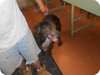 Border Collie Mix Dog for adoption in Indianapolis, Indiana - ROOSTER