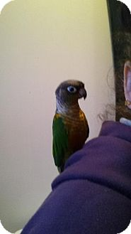 Conure for adoption in Blairstown, New Jersey - Carlos