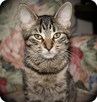 Domestic Shorthair Cat for adoption in Hamilton., Ontario - Daisy