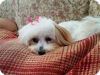 Coton de Tulear/Maltese Mix Puppy for adoption in Virginia Beach, Virginia - Miley