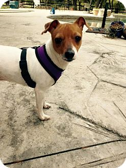 Rat Terrier/Jack Russell Terrier Mix Dog for adoption in Groveland, Florida - Janie