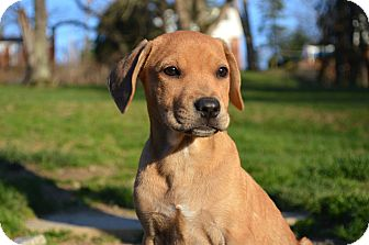Hound (Unknown Type)/Terrier (Unknown Type, Medium) Mix Puppy for adoption in Pittsburgh, Pennsylvania - Mercede