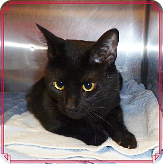 Domestic Shorthair Cat for adoption in Marietta, Georgia - GODZILLA