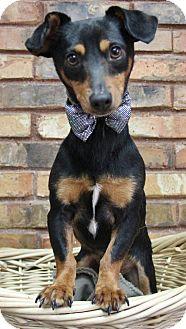 Dachshund Mix Dog for adoption in Benbrook, Texas - Gibby