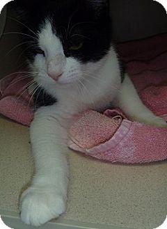 Domestic Shorthair Cat for adoption in Hamburg, New York - Paxton