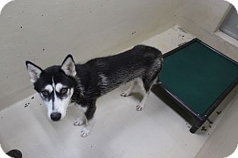 Husky Mix Puppy for adoption in Odessa, Texas - A29 Bri