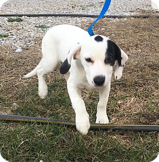 Beagle/Border Collie Mix Puppy for adoption in Washington, D.C. - Molly-Moo
