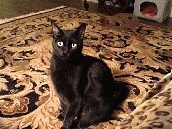 Domestic Shorthair Cat for adoption in Hamilton., Ontario - Winchester
