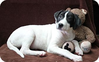 Labrador Retriever/Pit Bull Terrier Mix Puppy for adoption in Newark, New Jersey - Maryann
