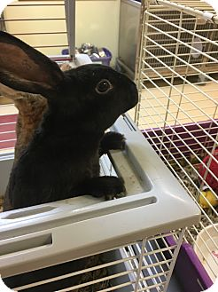 Mini Rex Mix for adoption in Red Wing, Minnesota - Thumper