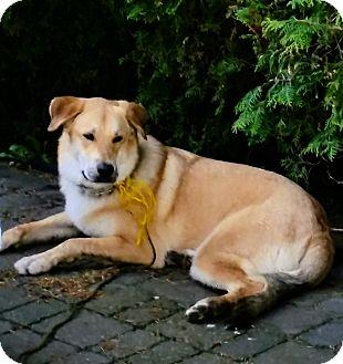 Labrador Retriever/Shepherd (Unknown Type) Mix Dog for adoption in Treton, Ontario - Riley