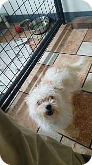 Chihuahua/Poodle (Miniature) Mix Dog for adoption in Colfax, Illinois - Minnie