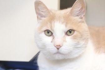 Domestic Shorthair/Domestic Shorthair Mix Cat for adoption in Bensalem, Pennsylvania - Sam