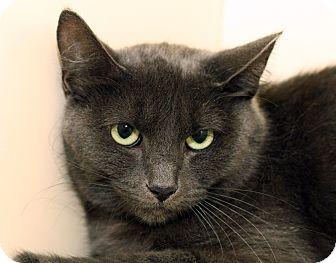 Domestic Shorthair Cat for adoption in Royal Oak, Michigan - RILEY