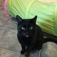 Domestic Shorthair/Domestic Shorthair Mix Cat for adoption in Montreal, Quebec - Eddie
