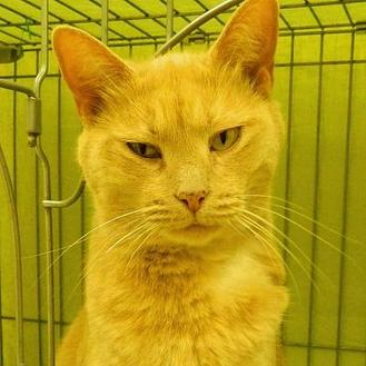 Domestic Shorthair/Domestic Shorthair Mix Cat for adoption in West Kennebunk, Maine - Scallop