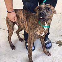 Adopt A Pet :: North-URGENT - Seabrook, NH