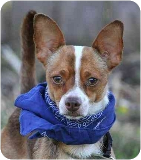 Chihuahua Mix Dog for adoption in Portsmouth, Rhode Island - Nelson